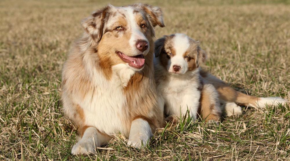 Australian Shepherd Pregnancy