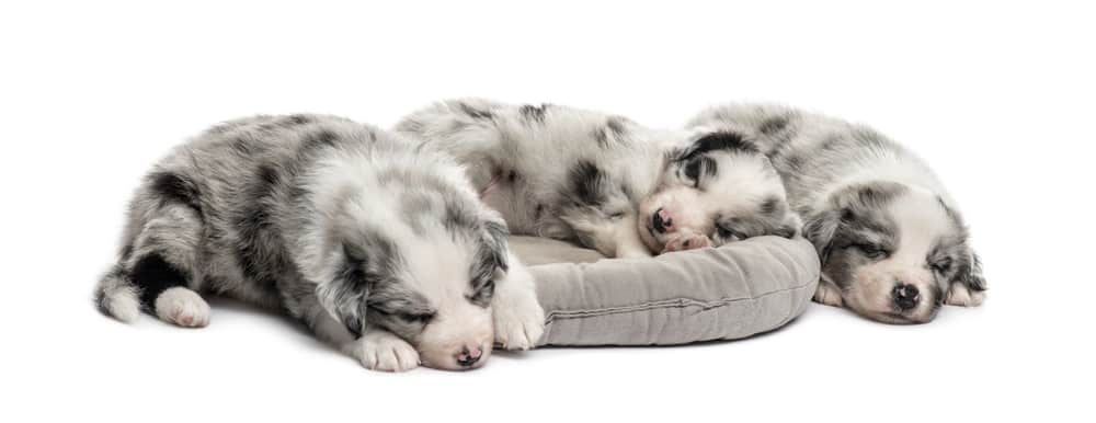 Australian Shepherd Puppies Weight Chart