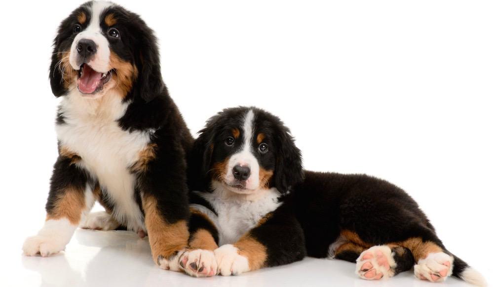 Bernese Mountain Dog Development