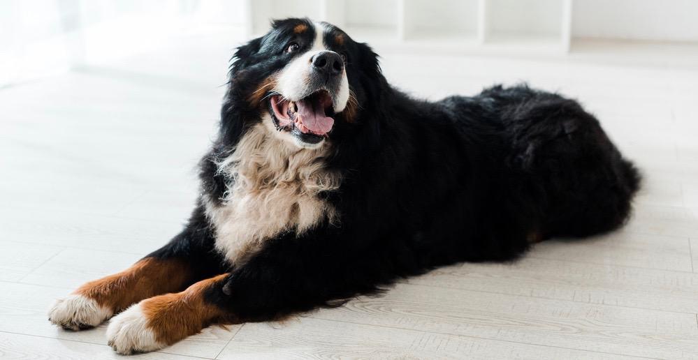 Bernese Mountain Dog Growth