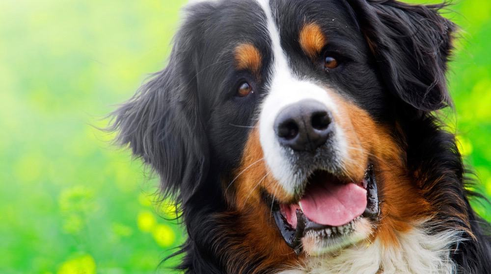 Bernese Mountain Dog Growth Stages