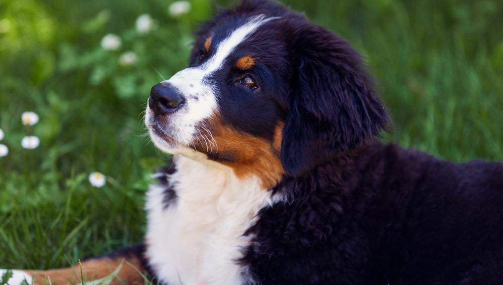 Bernese Mountain Dog Puppy Development