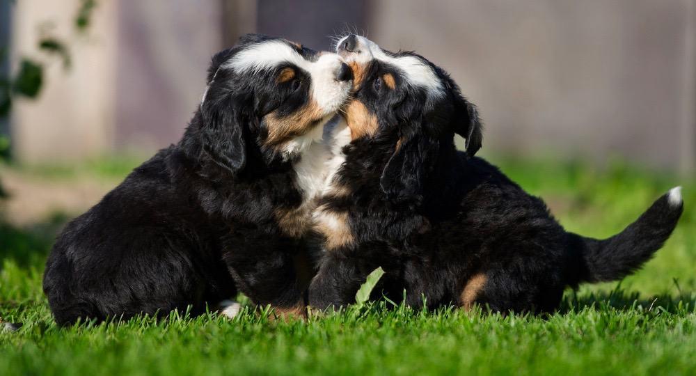 Bernese Mountain Dog Puppy Growth Chart