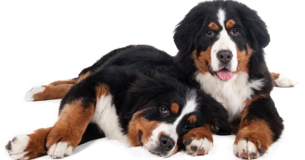 Bernese_Mountain Dog Puppy Weight Chart