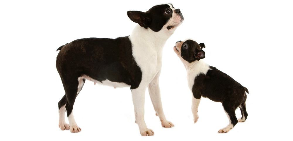 Boston Terrier Development