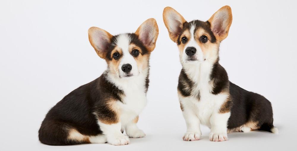 Corgi Puppy Development