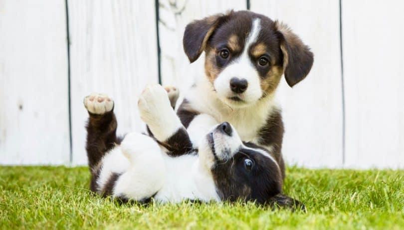 Corgi Puppy Growth Chart