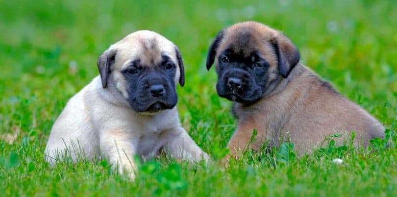 English Mastiff Growth Chart