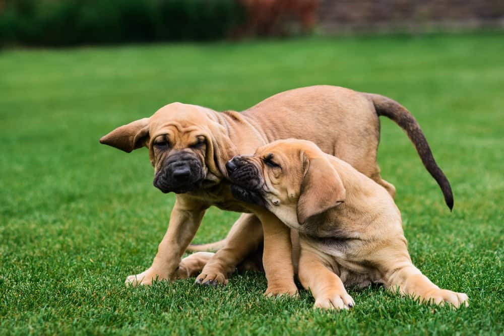 English Mastiff Puppy Development