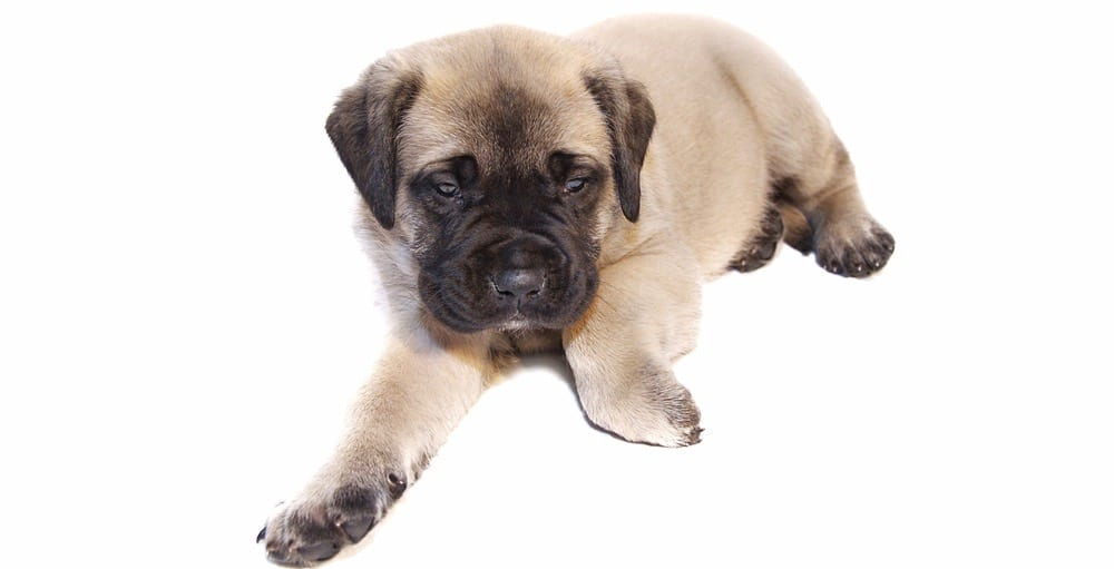 English Mastiff Puppy Growth