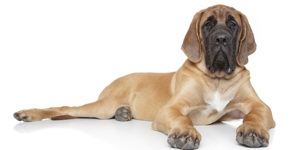 English Mastiff Puppy Weight Chart