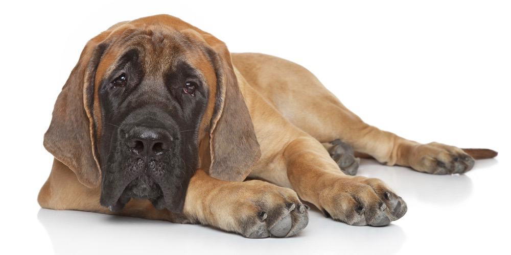English Mastiff Weight Chart