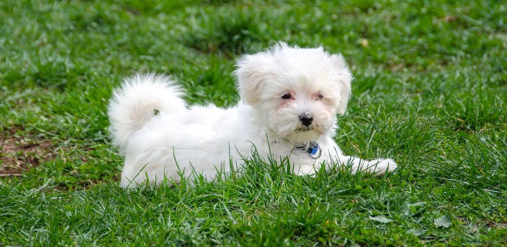 Maltese Puppy Growth Chart