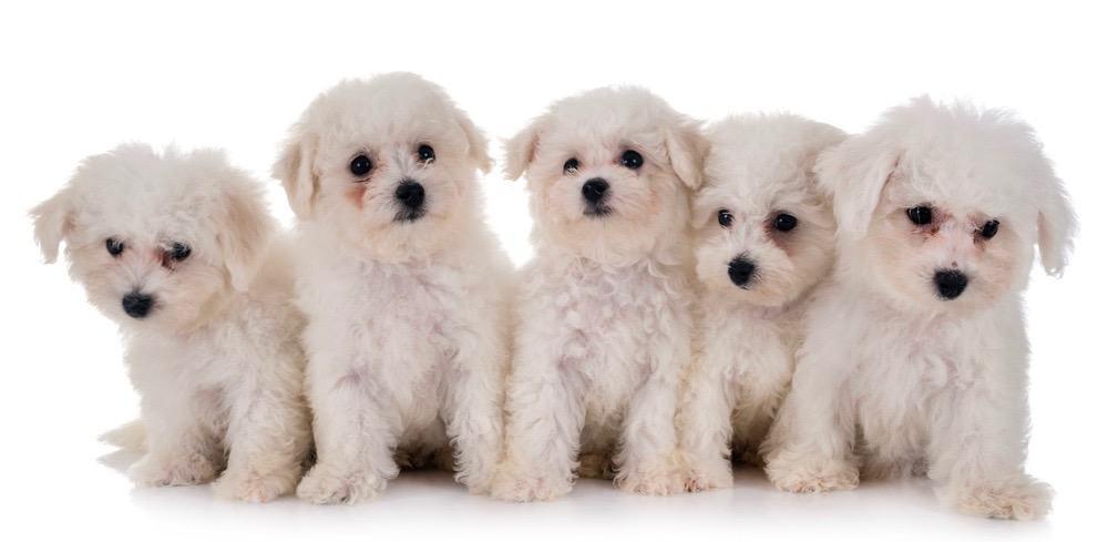 Maltese Puppy Weight Chart
