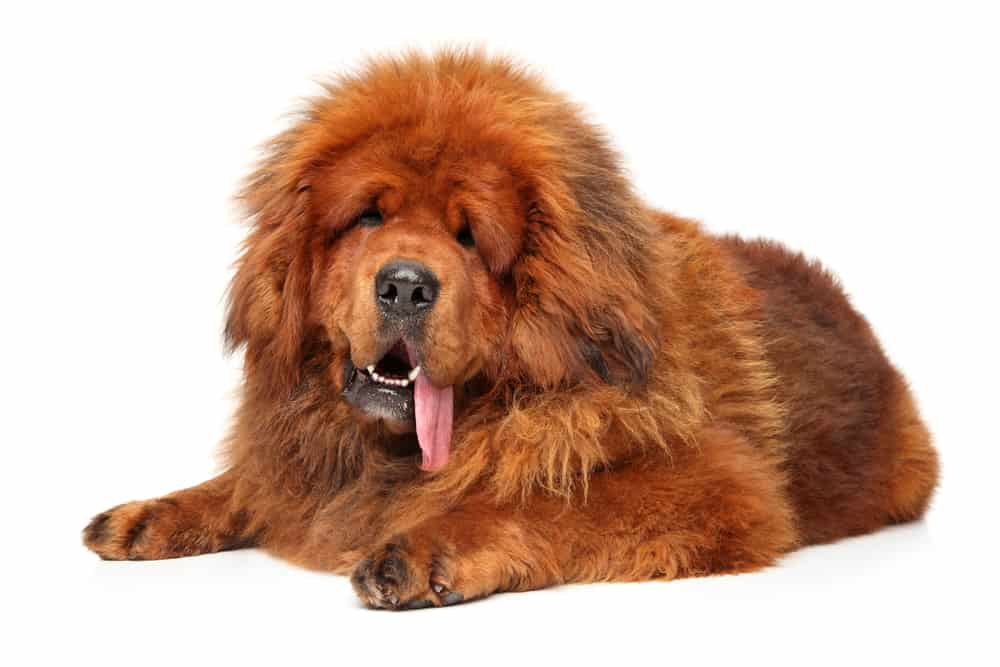 Tibetan Mastiff Growth