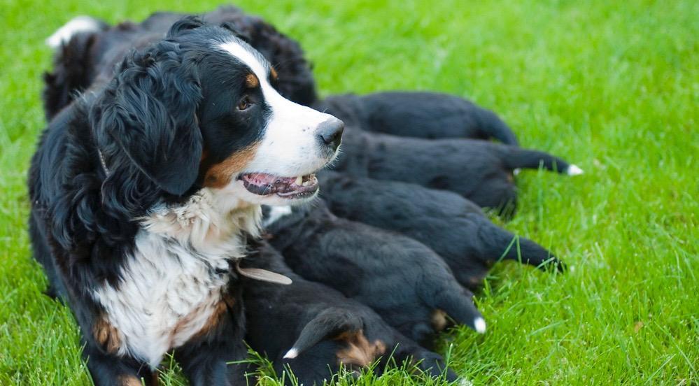 When Do Bernese Mountain Dogs Stop Growing