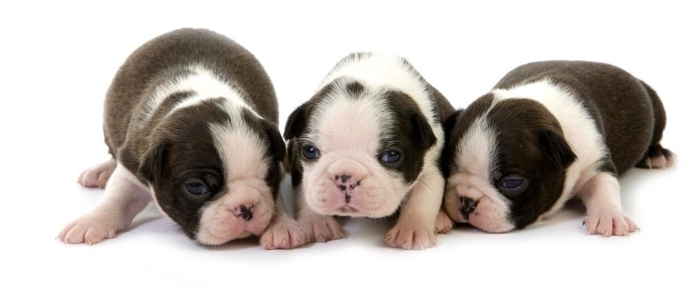 When Do Boston Terriers Stop Growing