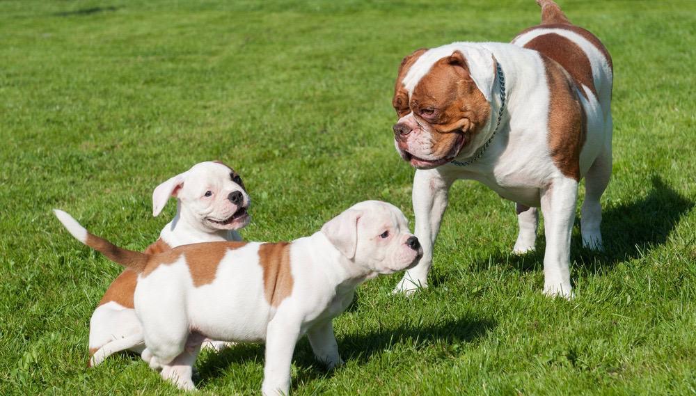 American Bulldog Development