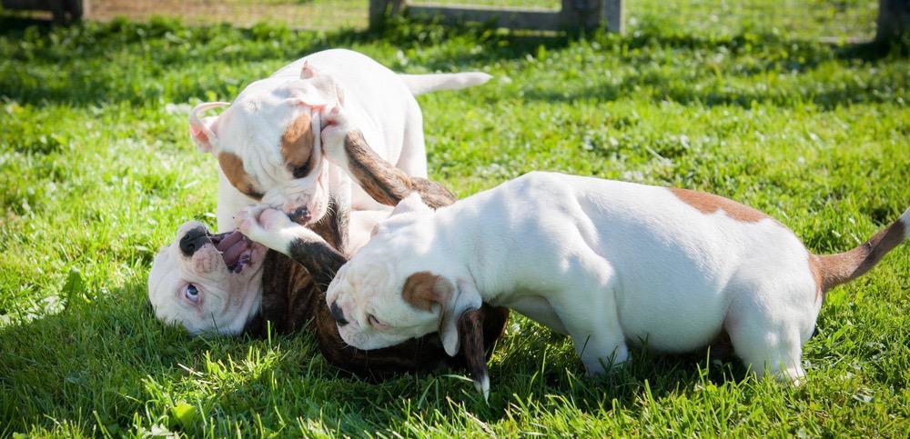 American Bulldog Pregnancy