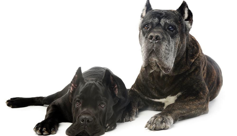 Cane Corso Puppy Development