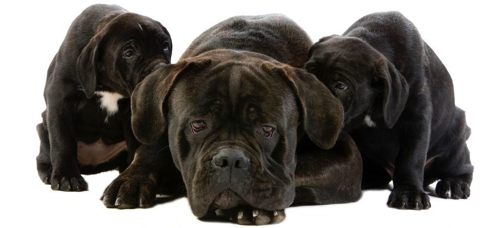Cane Corso Puppy Weight