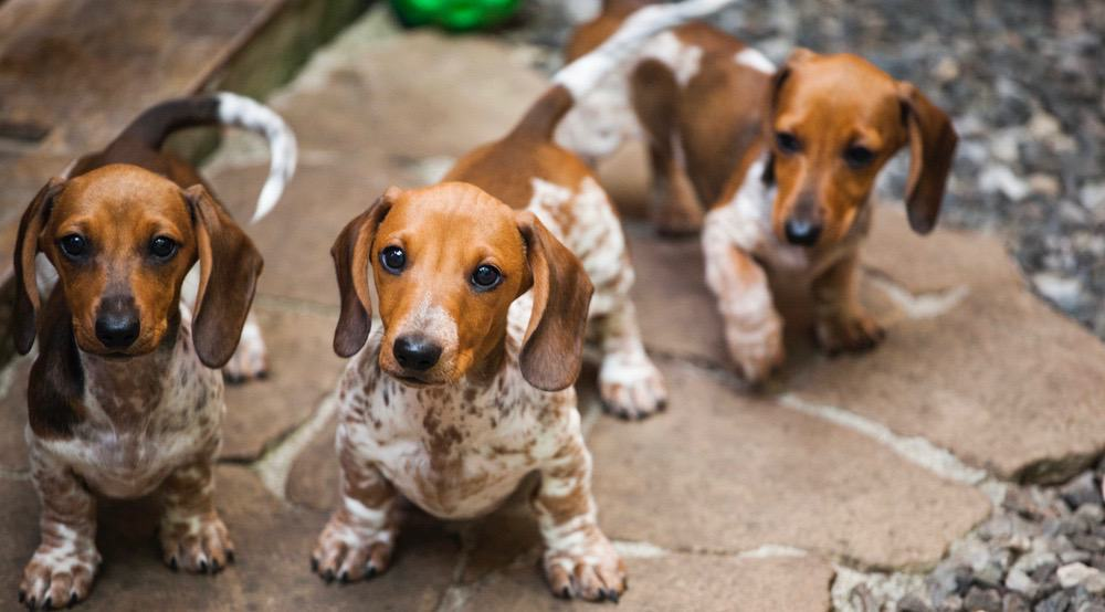 Dachshund Puppy Development