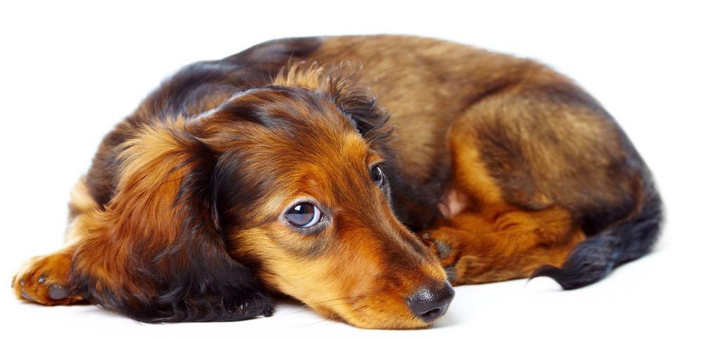 Dachshund Puppy Growth Chart
