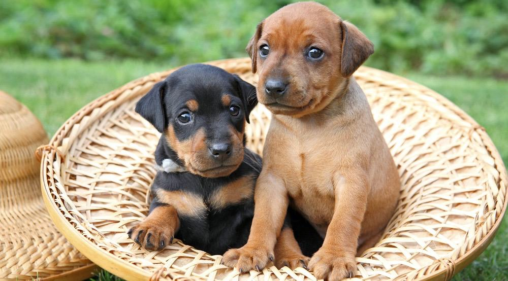 Doberman Puppy Growth