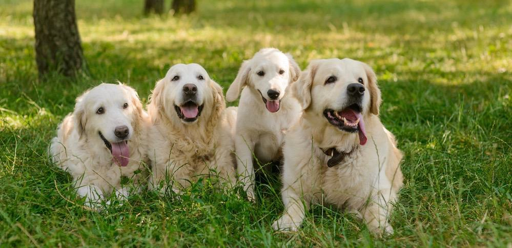 Great Pyrenees Growth