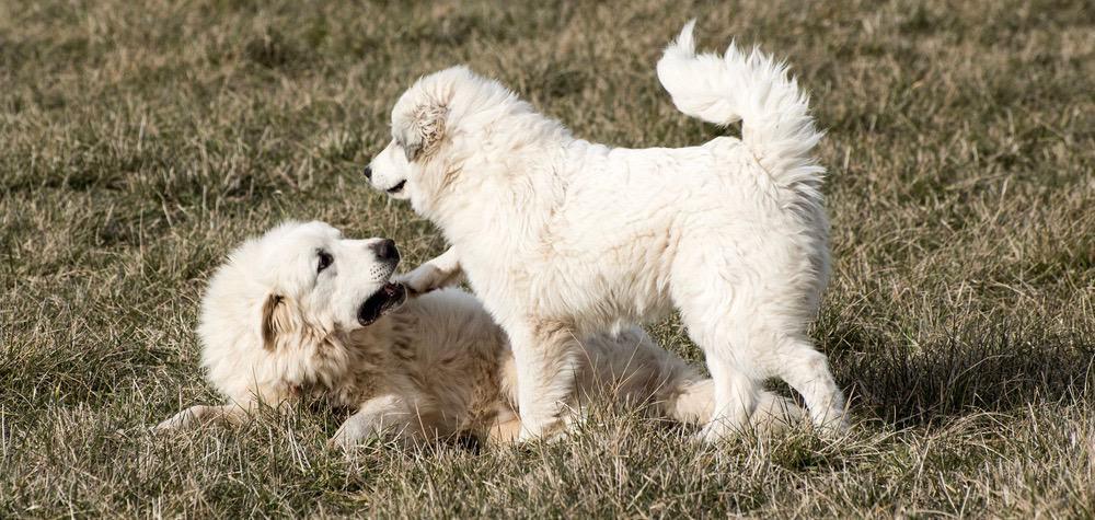 Great Pyrenees Puppy Development