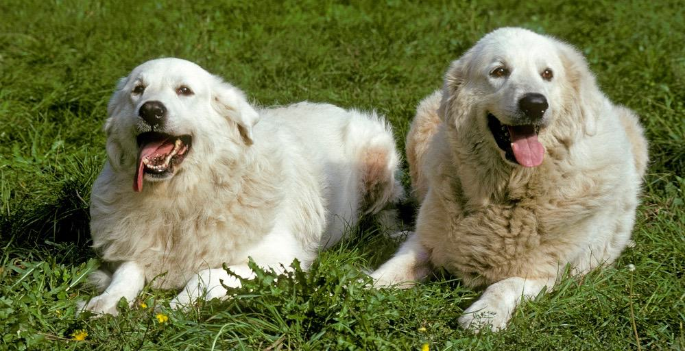 Great Pyrenees Puppy Growth Chart