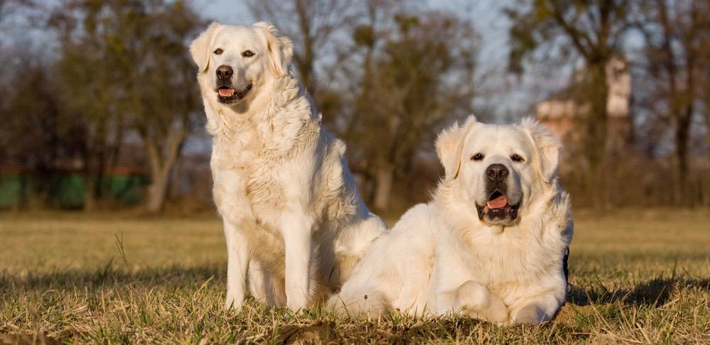 Great Pyrenees Puppy Weight Chart