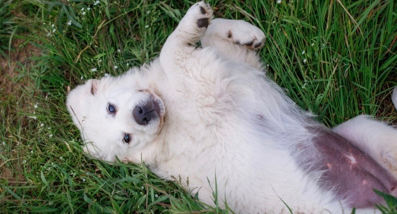 Great Pyrenees Weight Chart