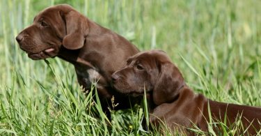 How Much To Feed A German Shorthaired Pointer