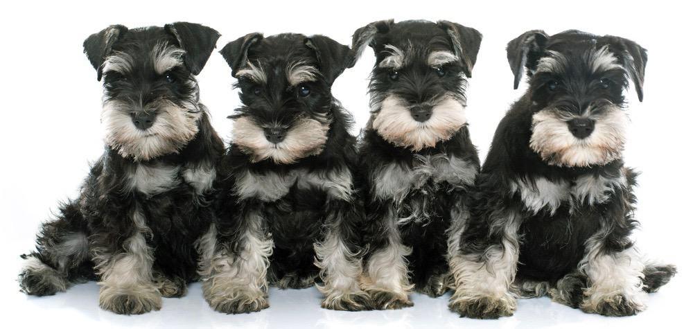 Miniature Schnauzer Puppy Growth Chart