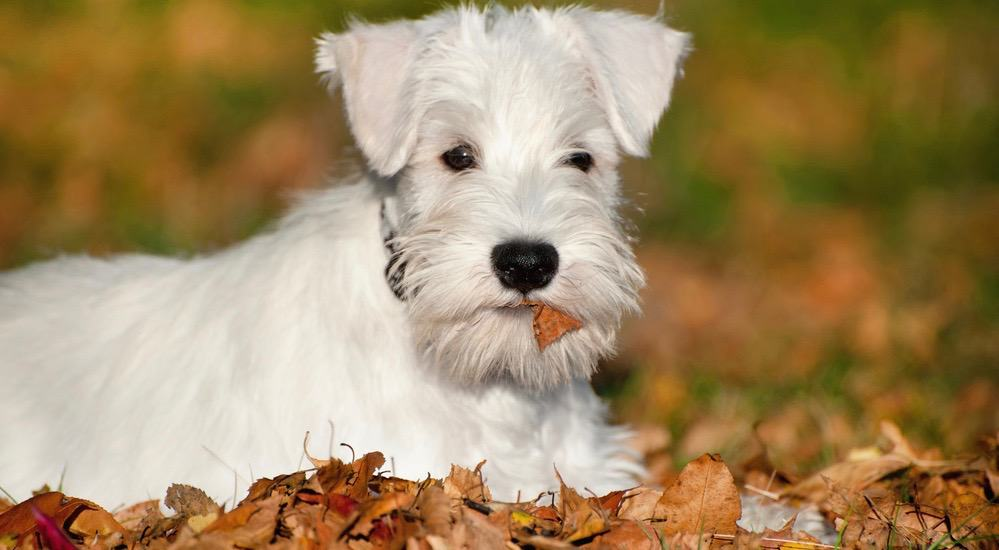 Miniature Schnauzer Puppy Weight Chart
