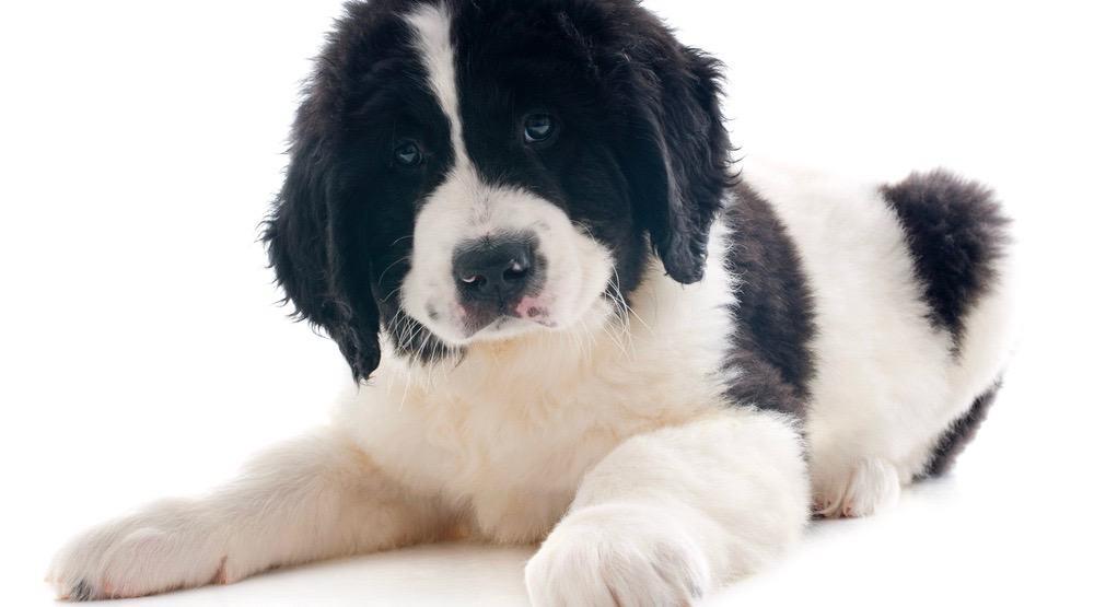 Newfoundland Puppy Weight Chart