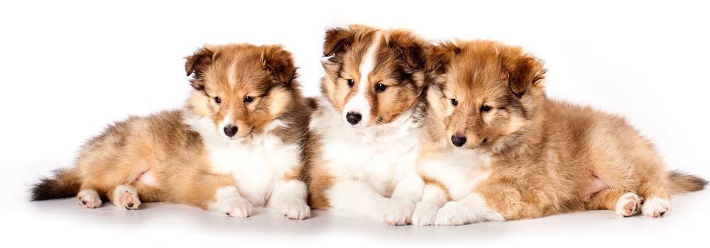 Sheltie Puppy Weight Chart