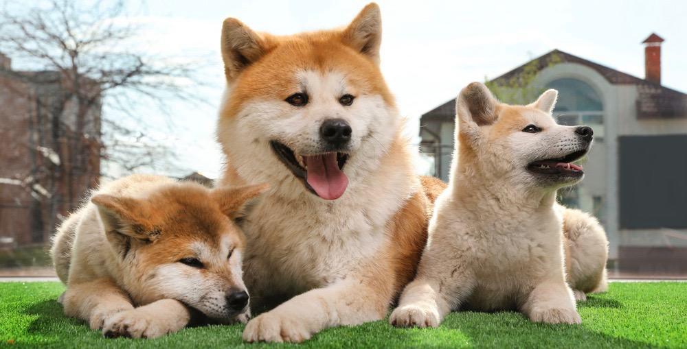 Akita Puppy Weight Chart