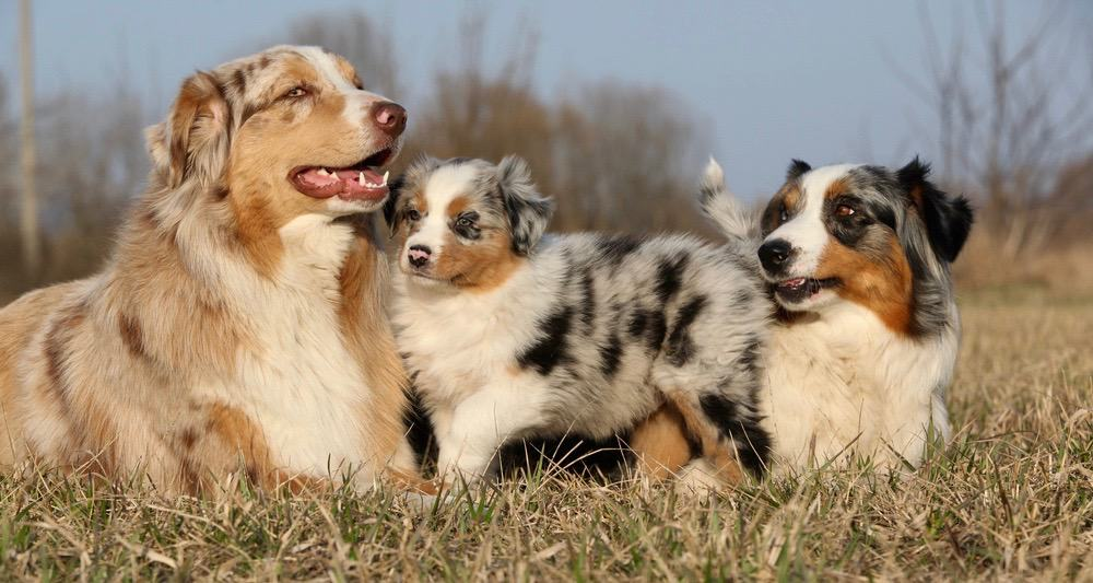 Australian Shepherd Bathing
