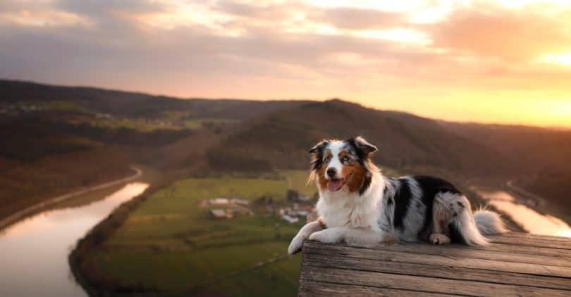 Australian Shepherd Life Expectancy