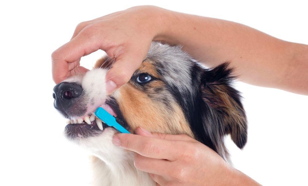 Australian Shepherd Teeth Cleaning