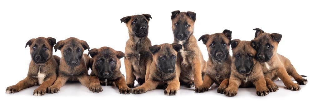 Belgian Malinois Puppy Growth Chart