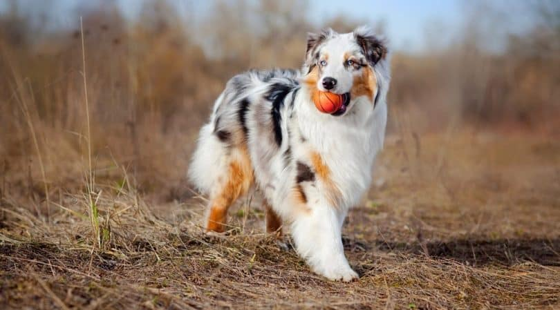 Do Australian Shepherds Shed