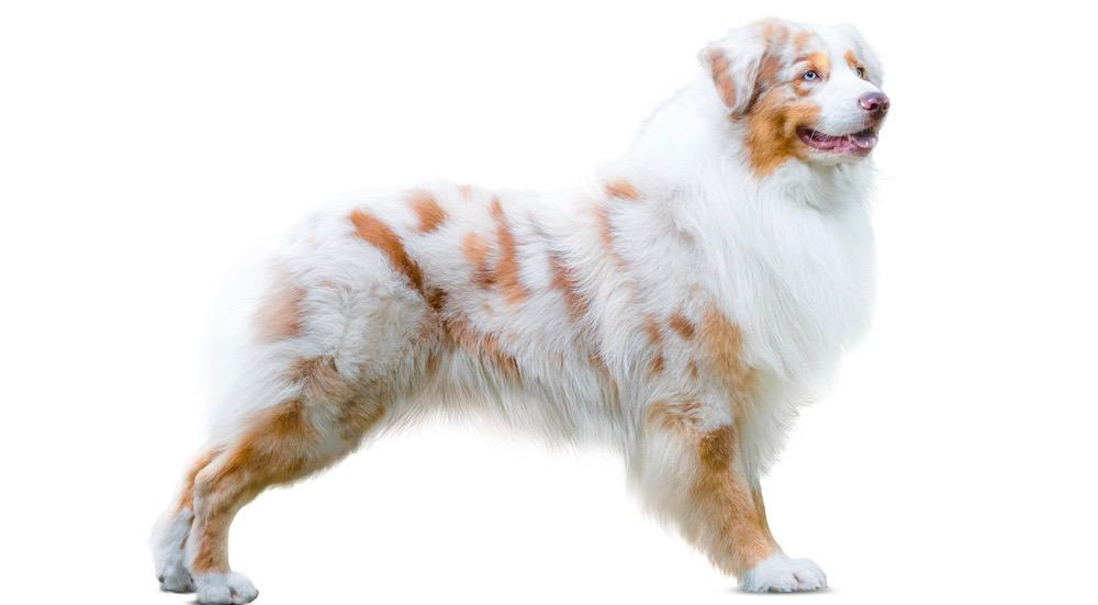 Do Australian Shepherds Shed A Lot