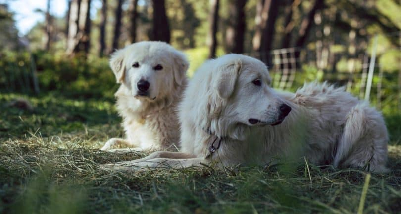 Do Great Pyrenees Shed