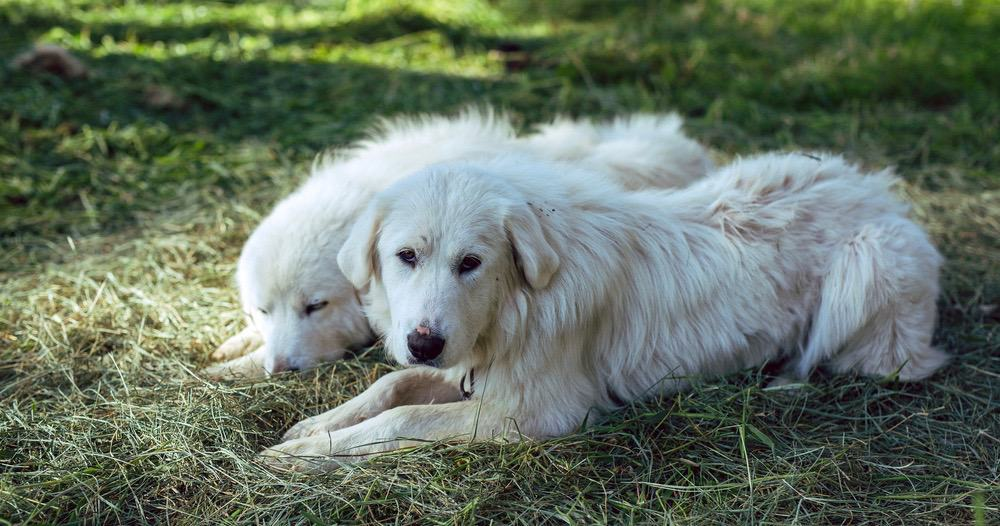 Do Great Pyrenees Shed A Lot
