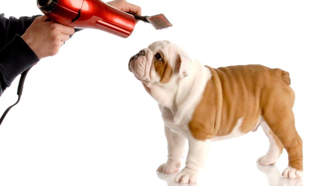English Bulldog Grooming