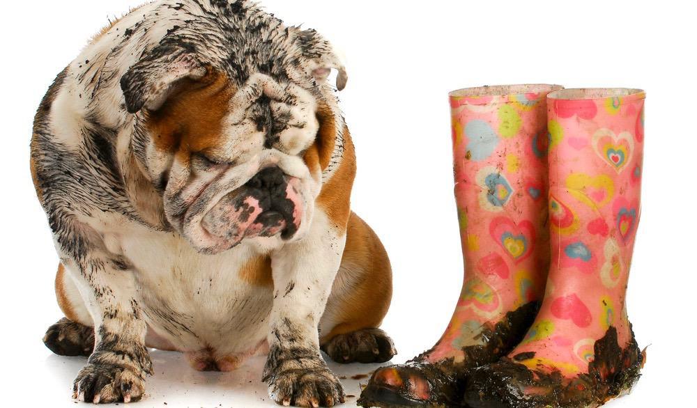 English Bulldog Puppy Shedding