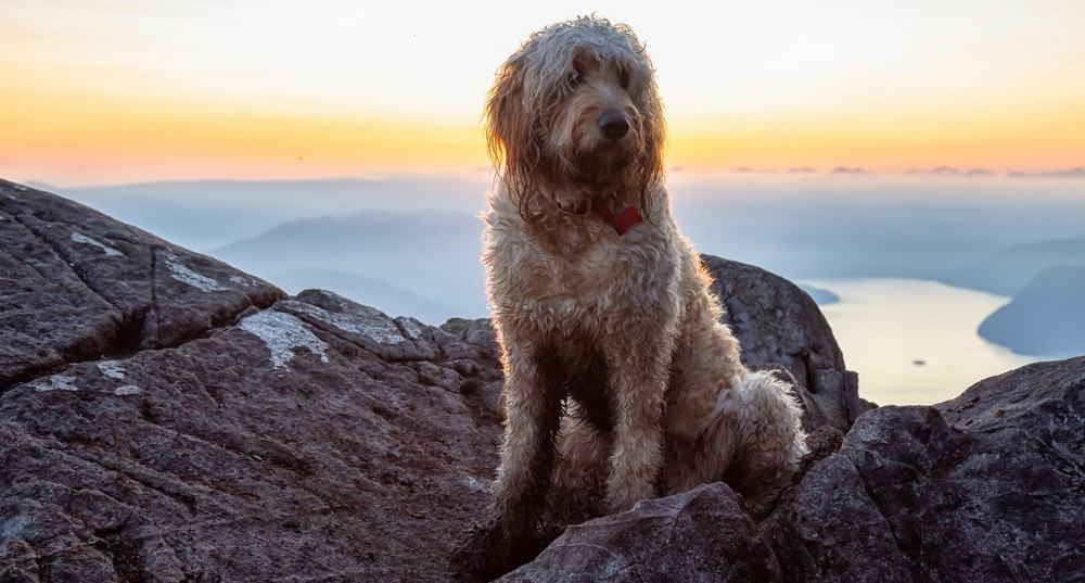 Goldendoodle Puppy Weight Chart